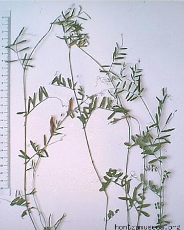 Vicia angustifolia